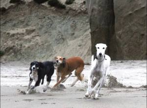 FAST PACK!  Long-time SFRAW members, Halley 5 months, Shay 4.5 years, Vevay in charge , 12+ show how it's done when you're a speedy red-fed Saluki! Thank you to Susan Schroder for this impressive snapshot of her three beautiful dogs.