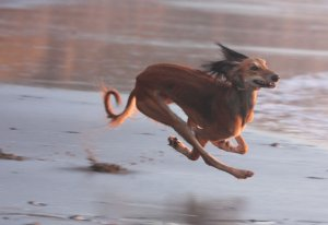 NOW THAT'S FAST! Susan Schroder's breathtakingly beautiful Saluki, Shay, gets air while joyfully speeding her way across the sands of the Pacific Ocean. We can't get you orders to you quite this fast, but we now offer faster order fulfillment on select items! Yippie!