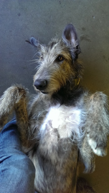 Loki has been 100% raw fed his entire life - he's a strapping, handsome, healthy Irish Wolfhound  & frequent visitor at SFRAW!