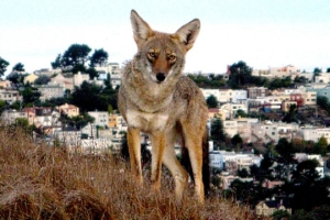 Coyote on Bernal Hill