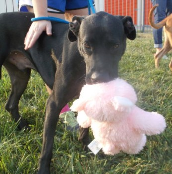 Chain of Hope KC rescued dog, Houston, AFTER Satin Balls.