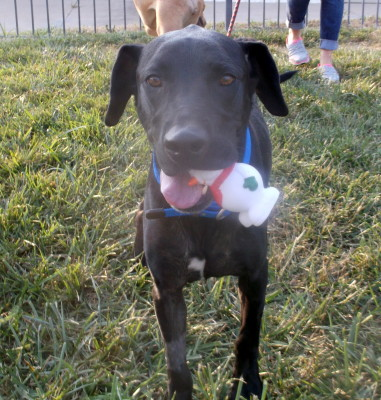 Chain of Hope KC rescued dog, Dallas, AFTER Satin Balls.