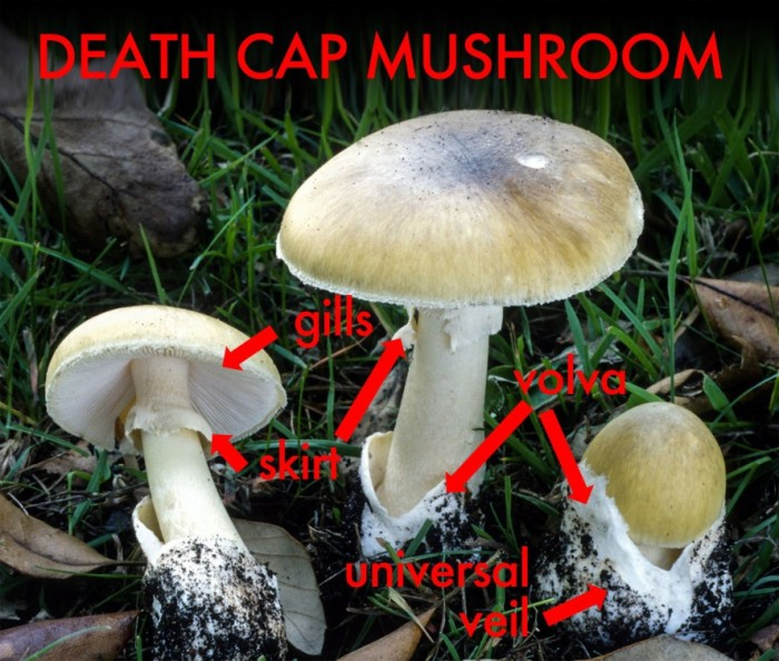 death-cap-mushroom-guide-889x755